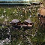 Image for the Tweet beginning: Happy #WorldTurtleDay! The turtles basking