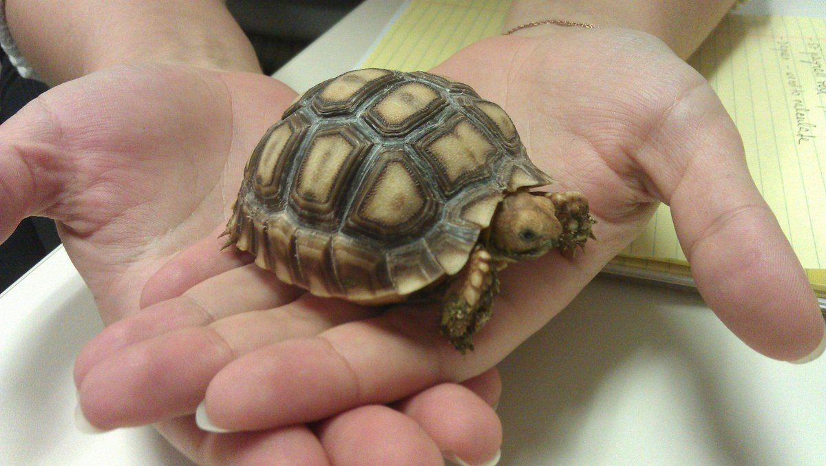 gordon the turtle gordontheturtle twitter