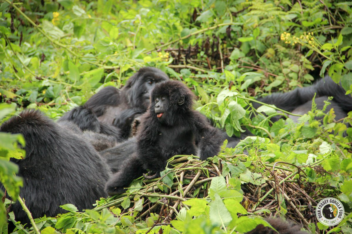 Wow! In a flash, @aplusk & @guyoseary give $4 million to @EDWildlifeFund to help us save #gorillas. That's quite a @Ripple! @theellenshow 🤪😍💚💛🦍