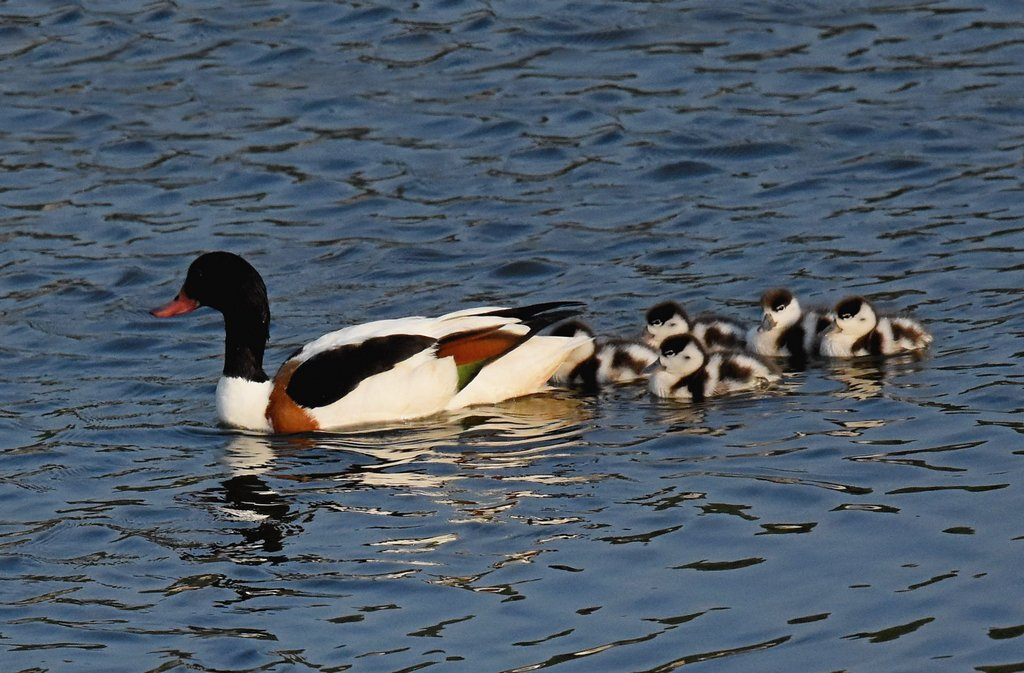 Distant shot of Shelduck and her 5 cute little Ducklings at Seaton Wetlands this evening @wildeastdevon<br>http://pic.twitter.com/aM4vbgrlft