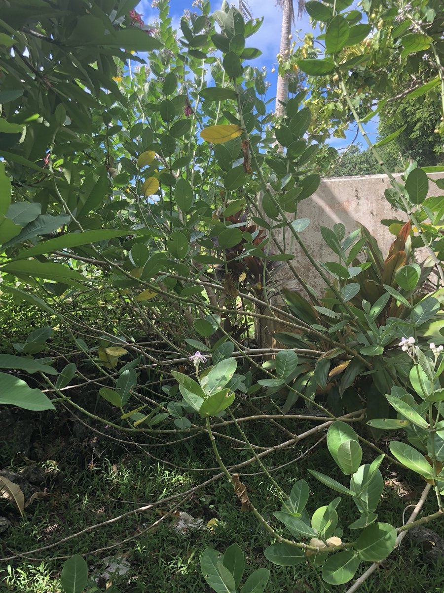 Phil Torres On Twitter Spotted This Huuuge Tropical Milkweed