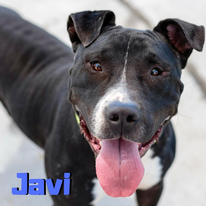 Sweet, and gentle Javi (#A0902003) is a cuddle champion looking for his new best friend. He has a couple doggie bffs at our shelter- watch them play in this cute video:  https:// youtu.be/lUIqfqlqfzY  &nbsp;   #WednesdayWisdom #WednesdayMotivation #dogsoftwitter<br>http://pic.twitter.com/xuADMx6lVI