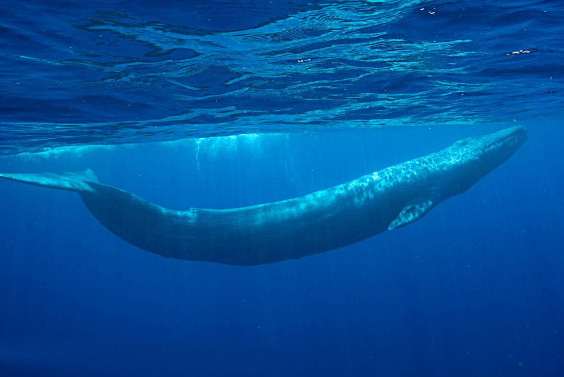 blue whale pictures - HD1150×769
