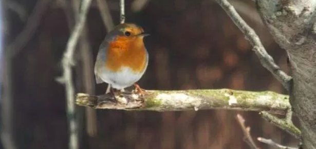 FINALLY! Brits have been twitching our robin forever. Now we get theirs. EUROPEAN ROBIN ADDED TO THE @ABA CHECKLIST. Get intel on this and other additions to the ABA Checklist: tinyurl.com/yadzvngk