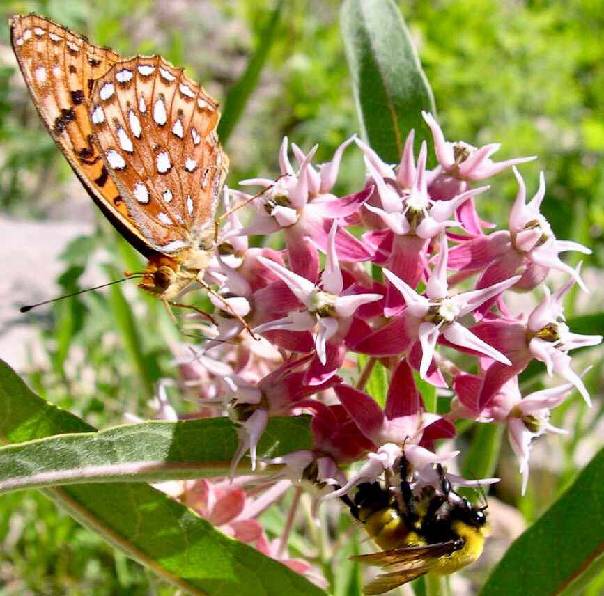 #PollinatorSaturday: #Butterfly and #bumblebee sharing nectar on our #ColoradoNativePlant showy milkweed, #Asclepiasspeciosa. Image by Max Licher and care of #SEINet. https://t.co/T37vfcx42p
