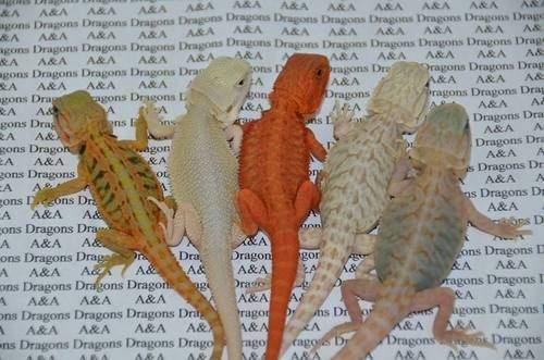 The Tye-Dyed Iguana on Twitter: