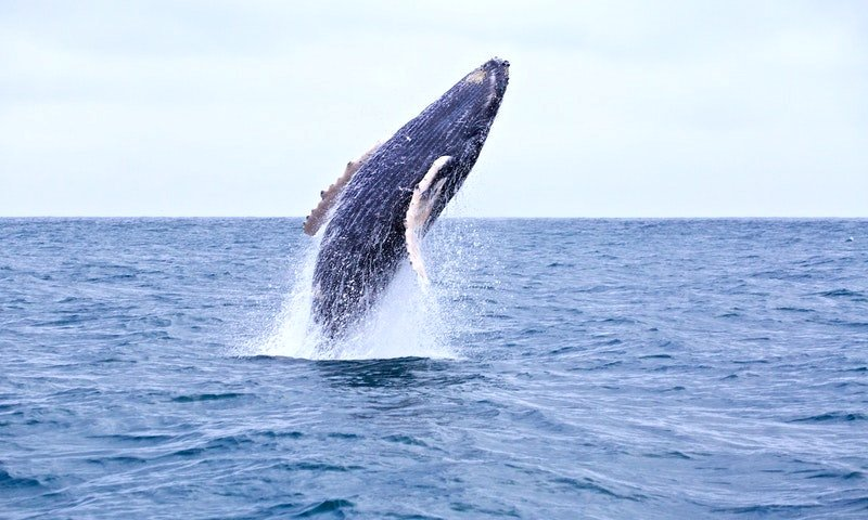 Want a chance to see these impressive mammals in action? Puerto Lopez, Ecuador is the whale watching capitol of South America 🐟 ow.ly/5hmw30jLy2y