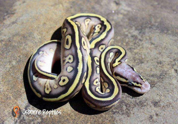 Sandblast Super Pastel Mojave Het Pied Female Ball Python by Osborne Reptiles, $1250 #ballpython #pets #reptile  https://www. morphmarket.com/us/c/reptiles/ pythons/ball-pythons/76636?utm_source=twitter&amp;utm_medium=post&amp;utm_content=76636&amp;utm_campaign=twitter-featured-ad &nbsp; … <br>http://pic.twitter.com/ygFMrwPzN6