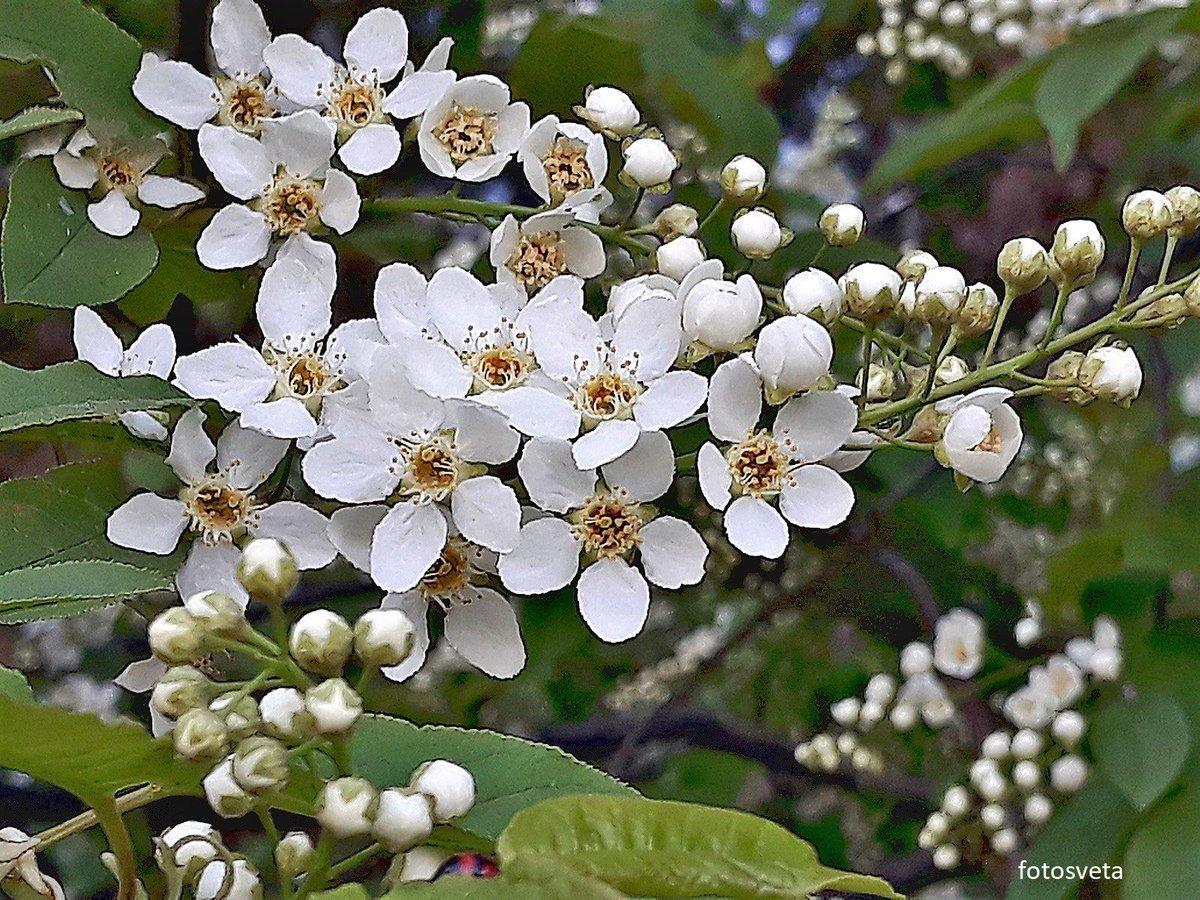 черемуха цветет в санкт петербурге фото зато один