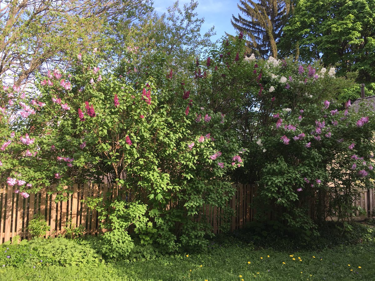 Jason Haremza On Twitter A Little Lilac Festival In Our Own Yard