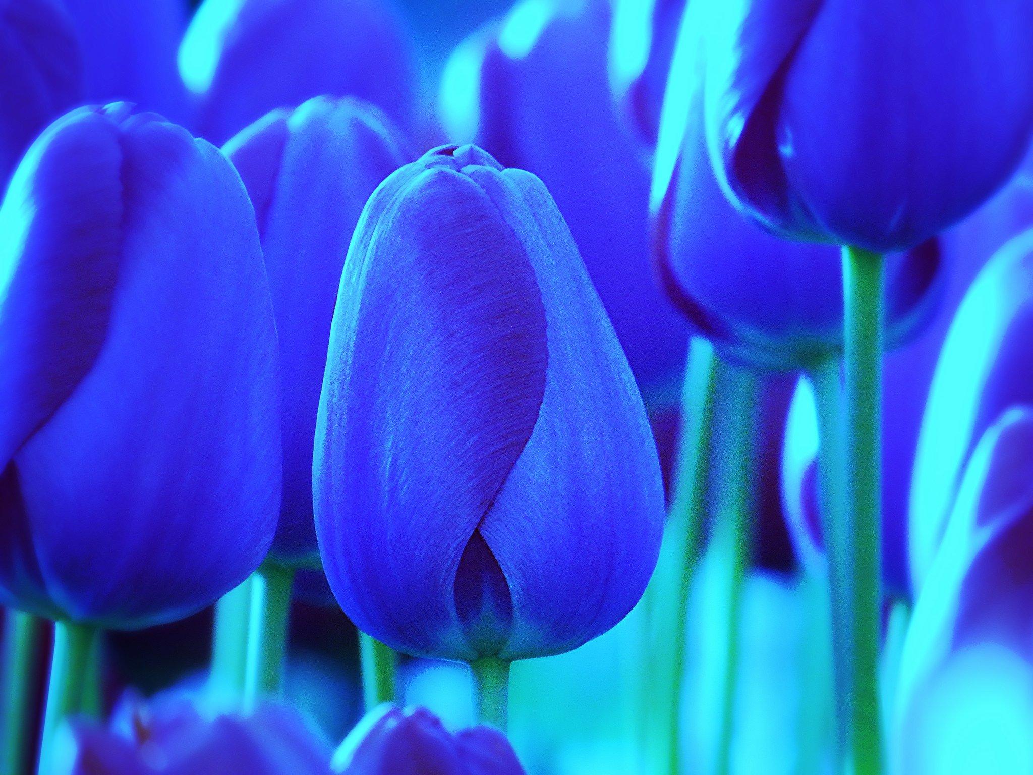Синий тюльпаны фото смотреть