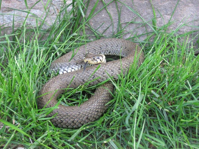 змеи саратовской области описание фото перенести изображение приглянувшейся