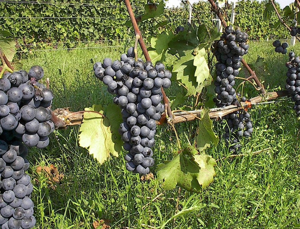 Western Cape Farmers Are Set To Plant Up 600 Hectares Of Drought Resistant Vines Which Will Bring Various Never Before Seen Cultivars The South