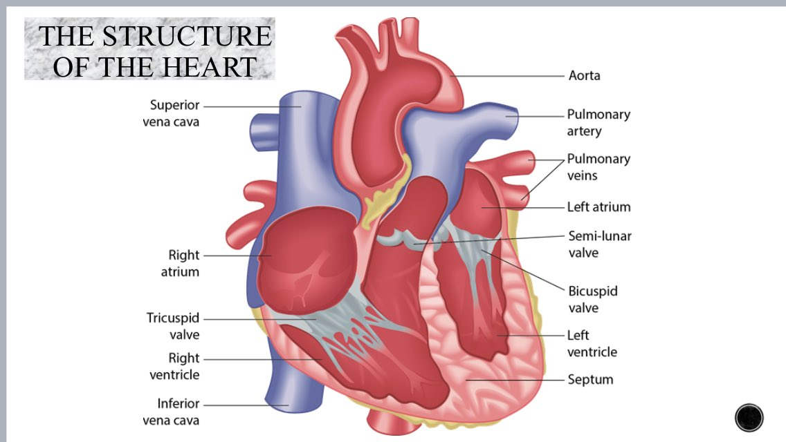 Limehurst academy pe on twitter gcse pe revision cardiovascular limehurst academy pe on twitter gcse pe revision cardiovascular system structure of heart and pathway of blood ccuart Choice Image