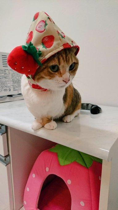 猫 画像 cat image 苺って 美味しいのかな? ちょっと気になるにゃ?