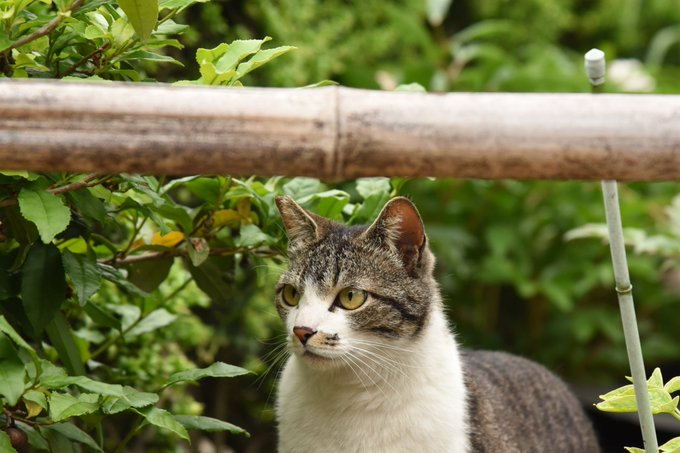 猫 画像 cat image 朝、牡丹寺で修行をしていた猫。