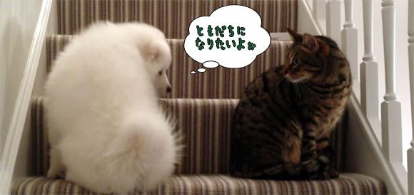 猫 画像 cat image 【RT1300UP】 友達になりたいの。つれない猫に控えめにアピールし続ける健気なサモエド犬