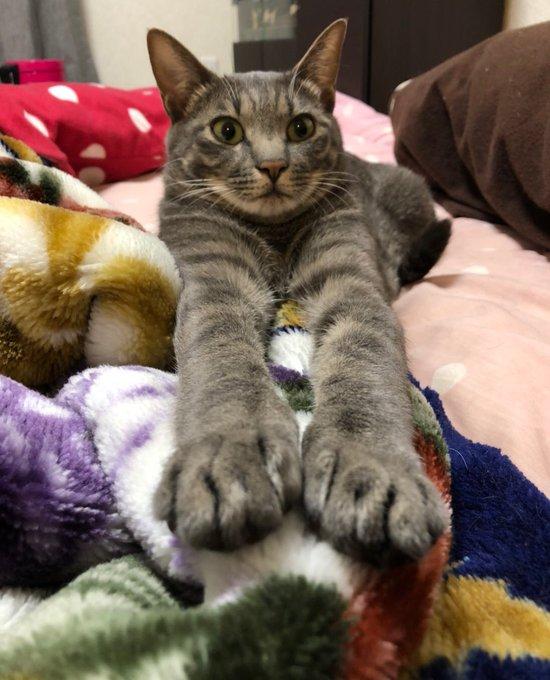 猫 画像 cat image 吾輩は猫である。  名前はロイである。 見よ!この前足を( •̀ .̫ •́ )✨