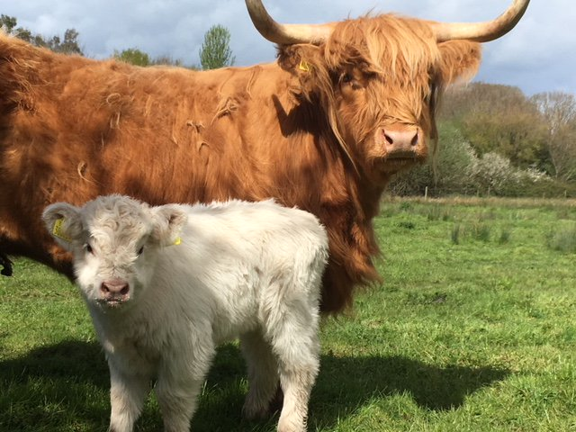 #WinItWednesday Meet our new #highlandcows The Mum is Iona, we need your help naming her little girl calf. Suggest a name beginning with D for your chance to win 4 tickets to visit us! Winner announced 21st May. Good Luck.