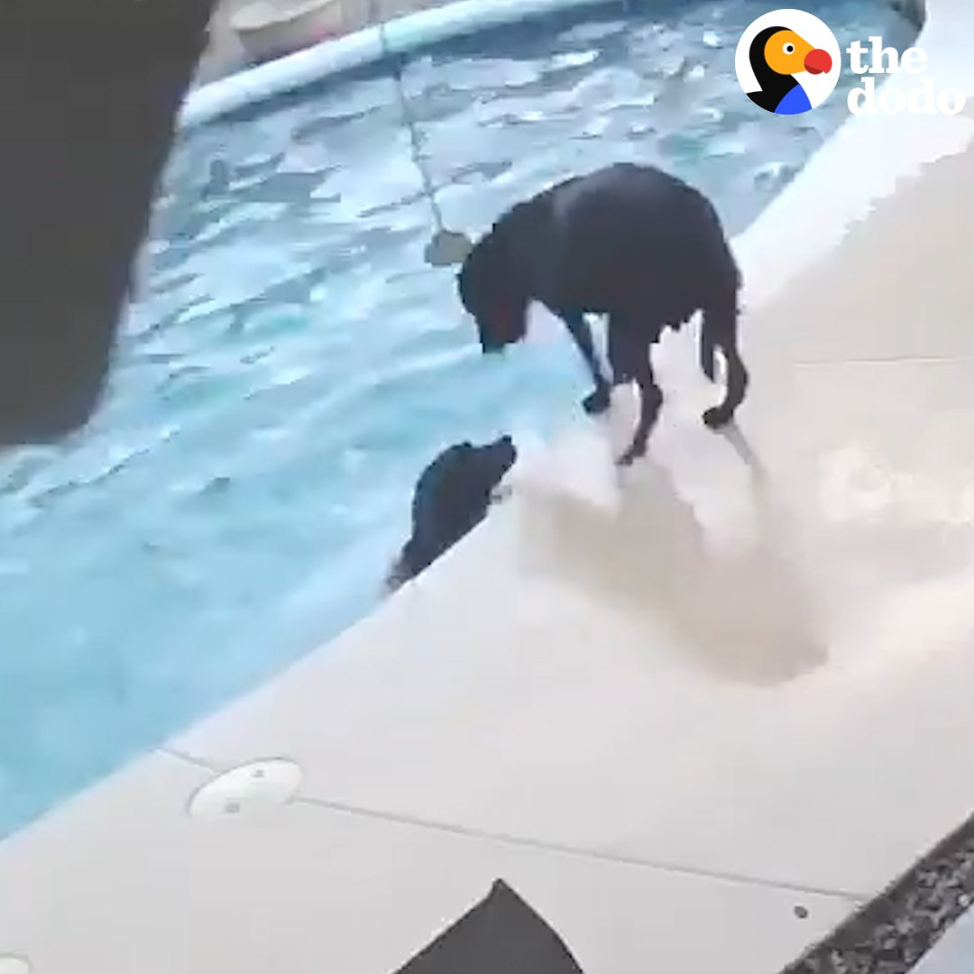 A security camera caught this dog jumping into a pool to save his friend ❤️