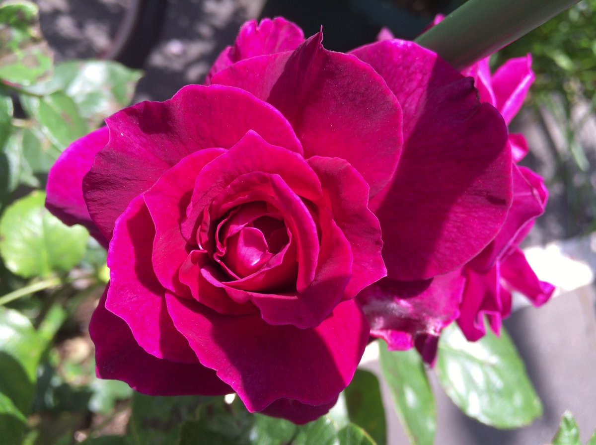 ピンク の バラ 花 言葉