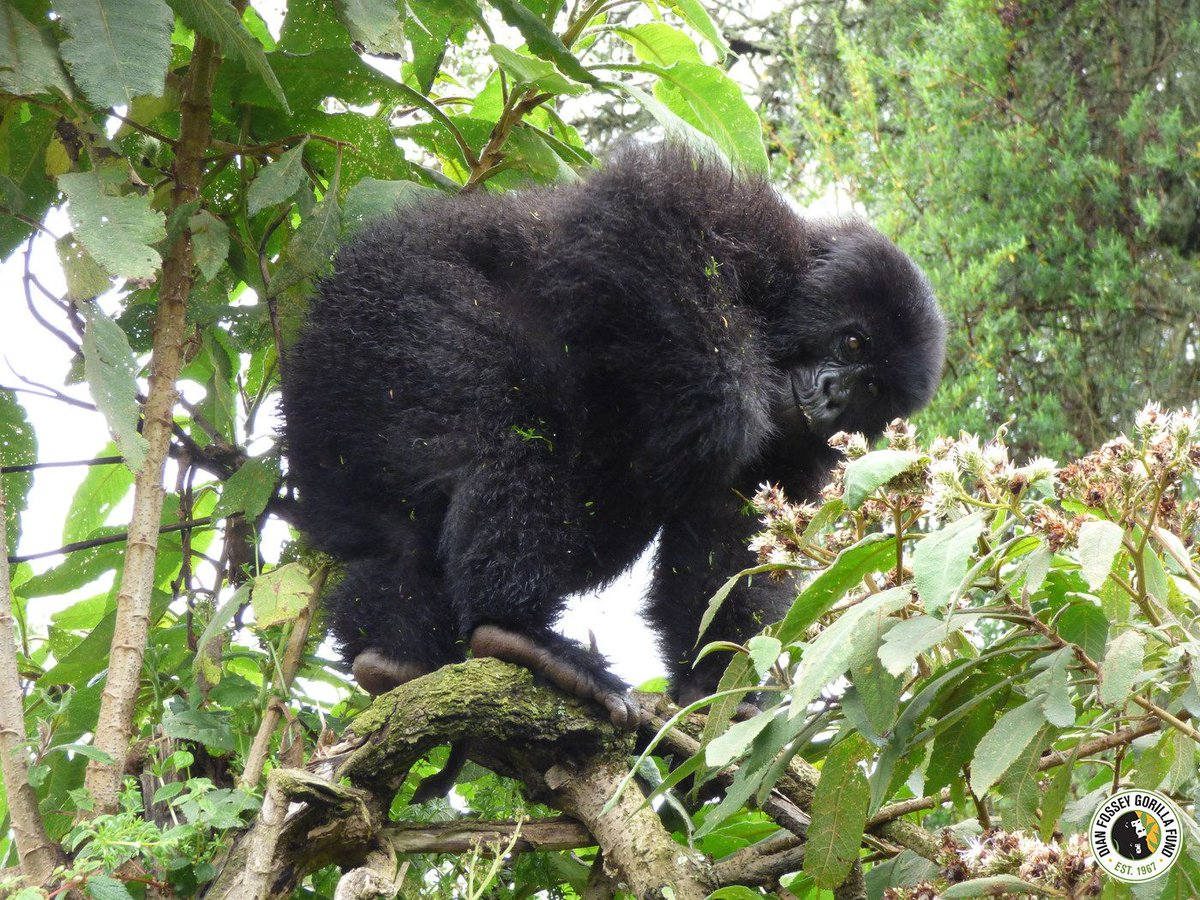 Akariza looking for flower of Vernonia. Fossey wrote in Gorillas in the Mist gorillas prefer the nutty tasting Vernonia buds and will either sit in the tree or simply bend a branch down to the ground to pluck the buds off one by one just as humans eat a strand of grapes.