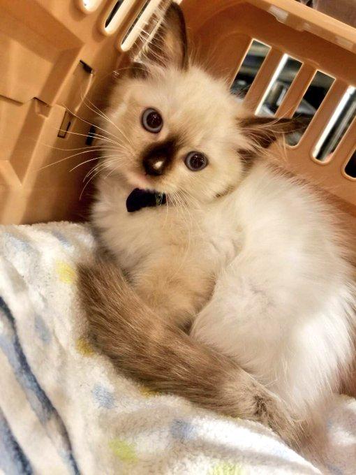 猫 画像 cat image マフィアのボスに成長しました。 本当に好きうちの子。  全然違う顔してるだろ。ウソみたいだろ。同じ猫なんだぜ。これで。