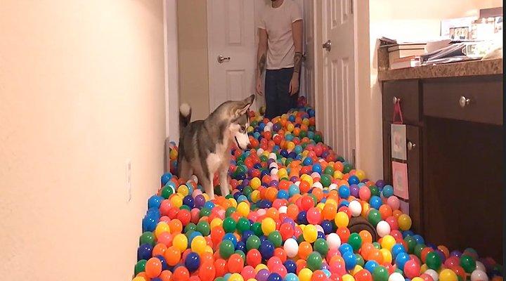 Vidéo. Un #chien s'éclate dans une piscine à balles « maison » https://t.co/gf6Pm2pXp1