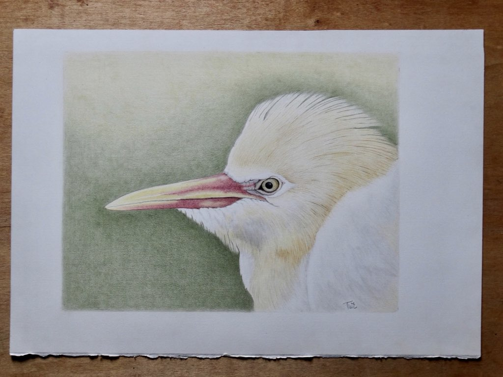 Terry Everitt On Twitter Cattle Egret 13x 10 Image