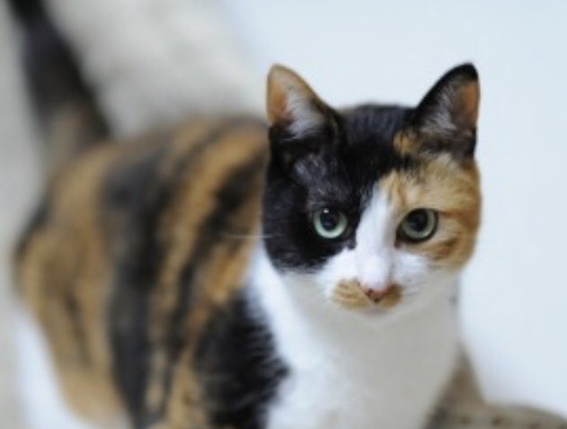 猫 画像 cat image 三毛猫??❓