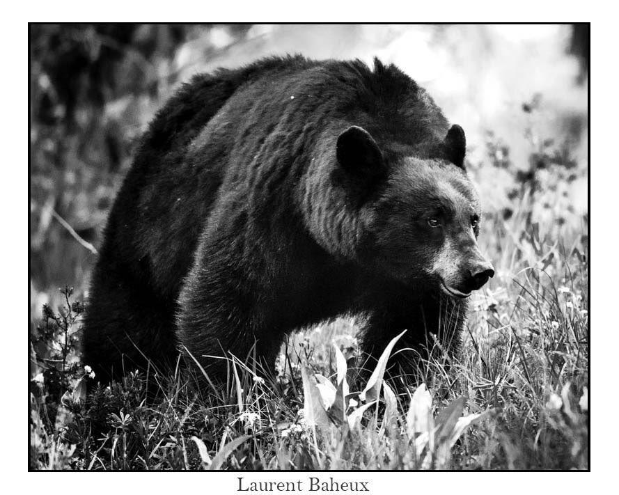 #JeSupportePasLesGensQui ne supportent pas les ours, les loups et tous les autres prédateurs à l'état sauvage, libres dans leur habitat naturel. Une seule espèce est #nuisible à tous les autres habitants de cette planète : devinez laquelle ? #antispecisme #ours #loup #predateur  - FestivalFocus