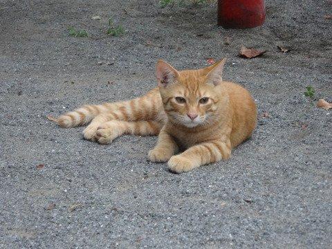 猫 画像 cat image blog更新 ねこかます : 子猫(野良)→大人(家猫) 20180517