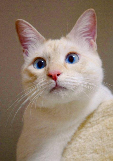猫 画像 cat image よく「寄り目」だと言われます。笑