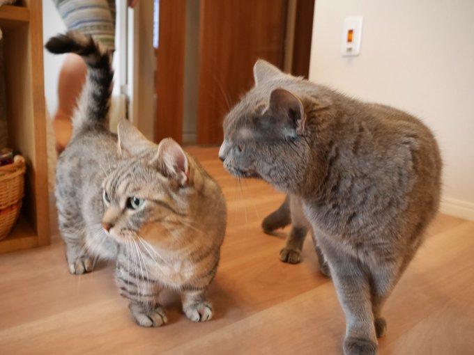 猫 画像 cat image ごましおが近くに来ると、機嫌が良い時は毛繕いしてあげるさばみそ(´ω`)