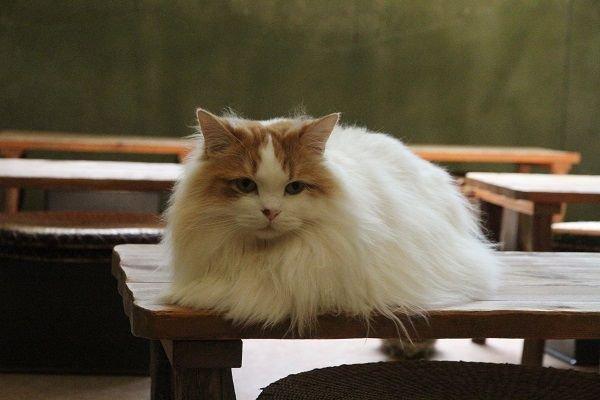 猫 画像 cat image 【おうち】もっぷ「ぼく、一番乗りのお客さんの為に机をお掃除するよぉ~(*'ω'*)」もっぷくん、名前の通りもっぷみたいに綺麗にお掃除してくれているそうですよ♪綺麗になったかな?