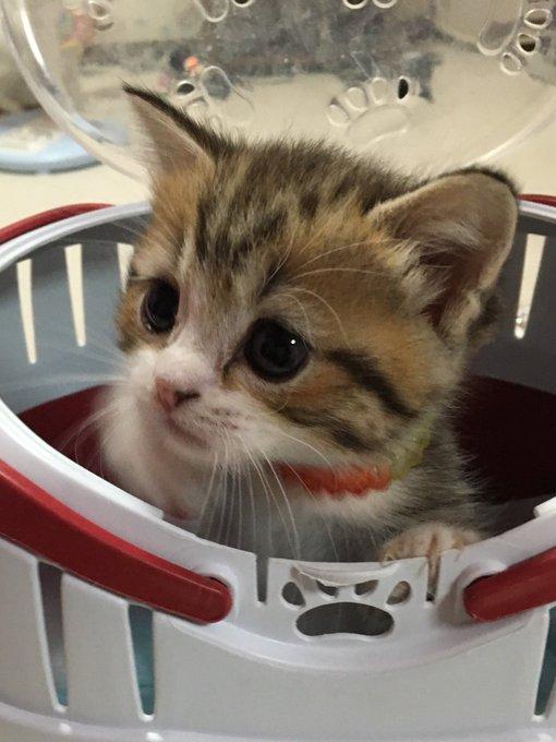 猫 画像 cat image 全体的になんか色が薄くなった気がする?(ΦωΦ)    #虎次郎 #マンチカン #子猫 #猫 #猫画像 #猫好き