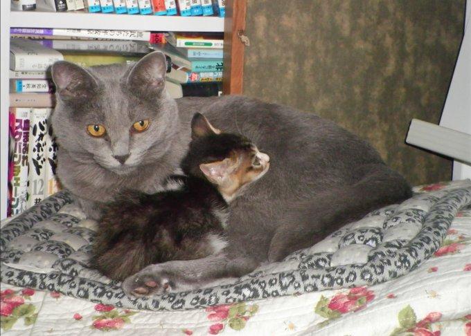 猫 画像 cat image 育てる事を決意した先住猫 育てすぎてしまったと言いたげな先住猫