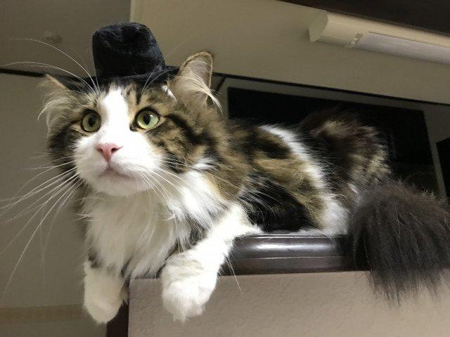 猫 画像 cat image ぼうしにゃん?