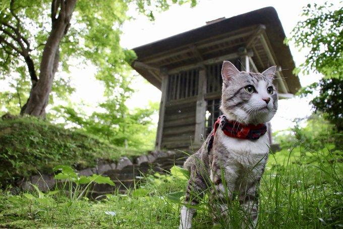 猫 画像 cat image 岩手県が誇る世界遺産、中尊寺はとても素敵だったにゃり?  岩手縣自豪的世界遺產,中尊寺非常漂亮喵哩?