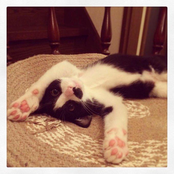 猫 画像 cat image ごま蜜、昔からゴロンゴロンとするのが好きな猫ではありました