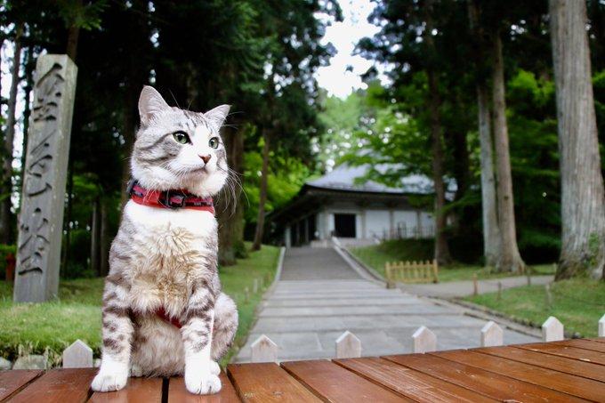猫 画像 cat image 中尊寺金色堂は一見の価値ある素晴らしいところにゃり?  中尊寺金色堂是有著一看價值的美好景點喵哩?