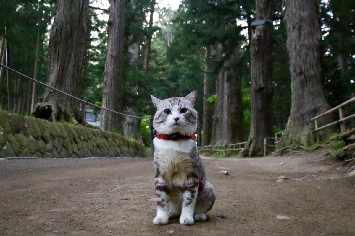 猫 画像 cat image 中尊寺金色堂は一見の価値ある素晴らしいところにゃり?  中尊寺金色堂是有著一看價值的美好景點喵哩?           3