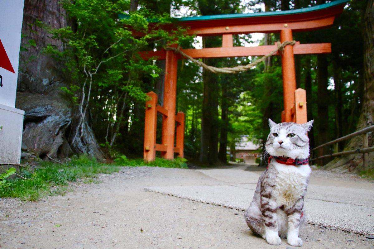 猫 画像 cat image 中尊寺金色堂は一見の価値ある素晴らしいところにゃり?  中尊寺金色堂是有著一看價值的美好景點喵哩?           1