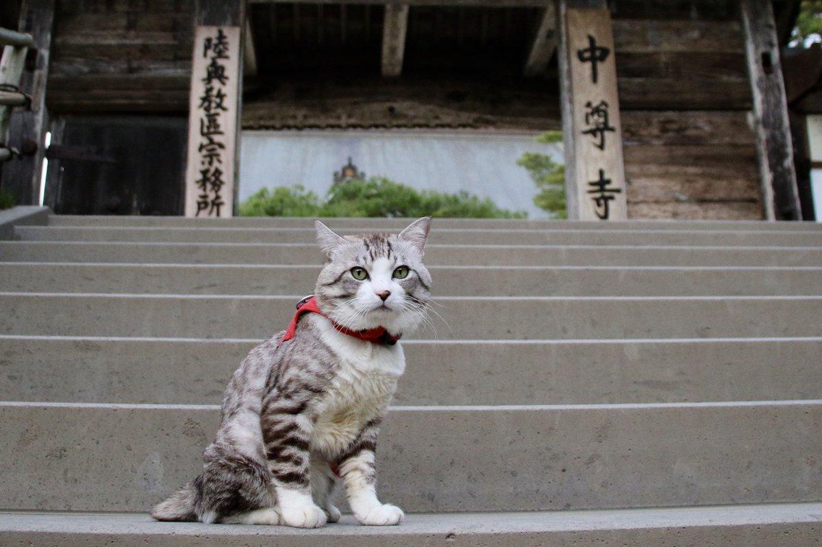 猫 画像 cat image 中尊寺金色堂は一見の価値ある素晴らしいところにゃり?  中尊寺金色堂是有著一看價值的美好景點喵哩?           2