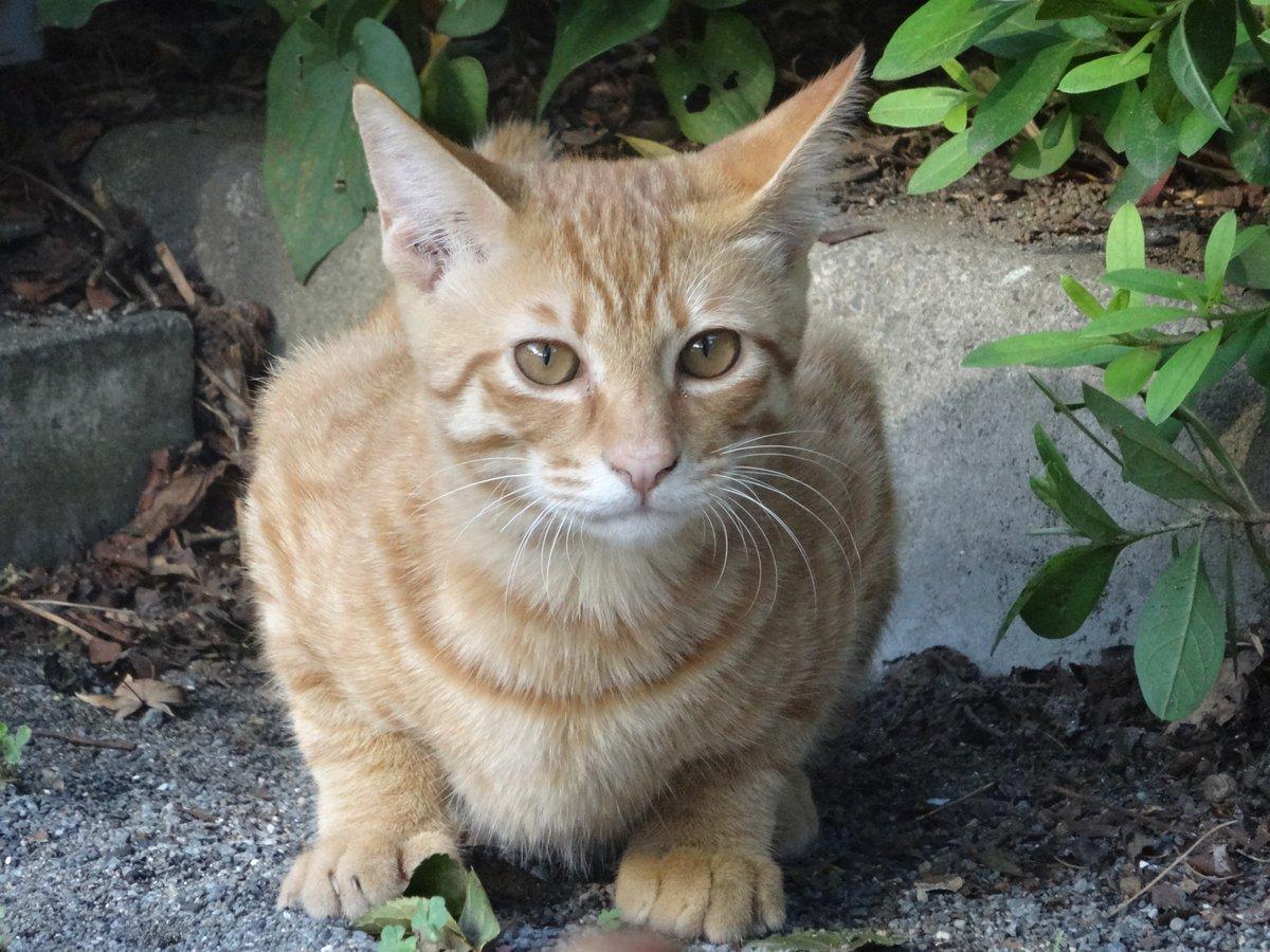 猫 画像 cat image 子猫(野良) ↓ 成長後(家猫)     0