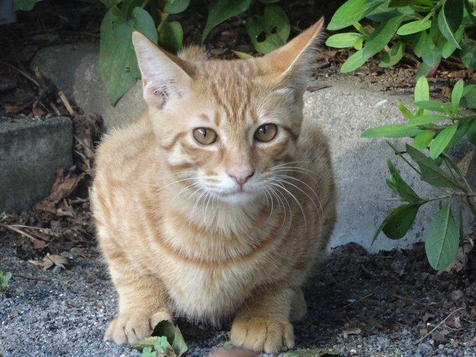 猫 画像 cat image 子猫(野良) ↓ 成長後(家猫)