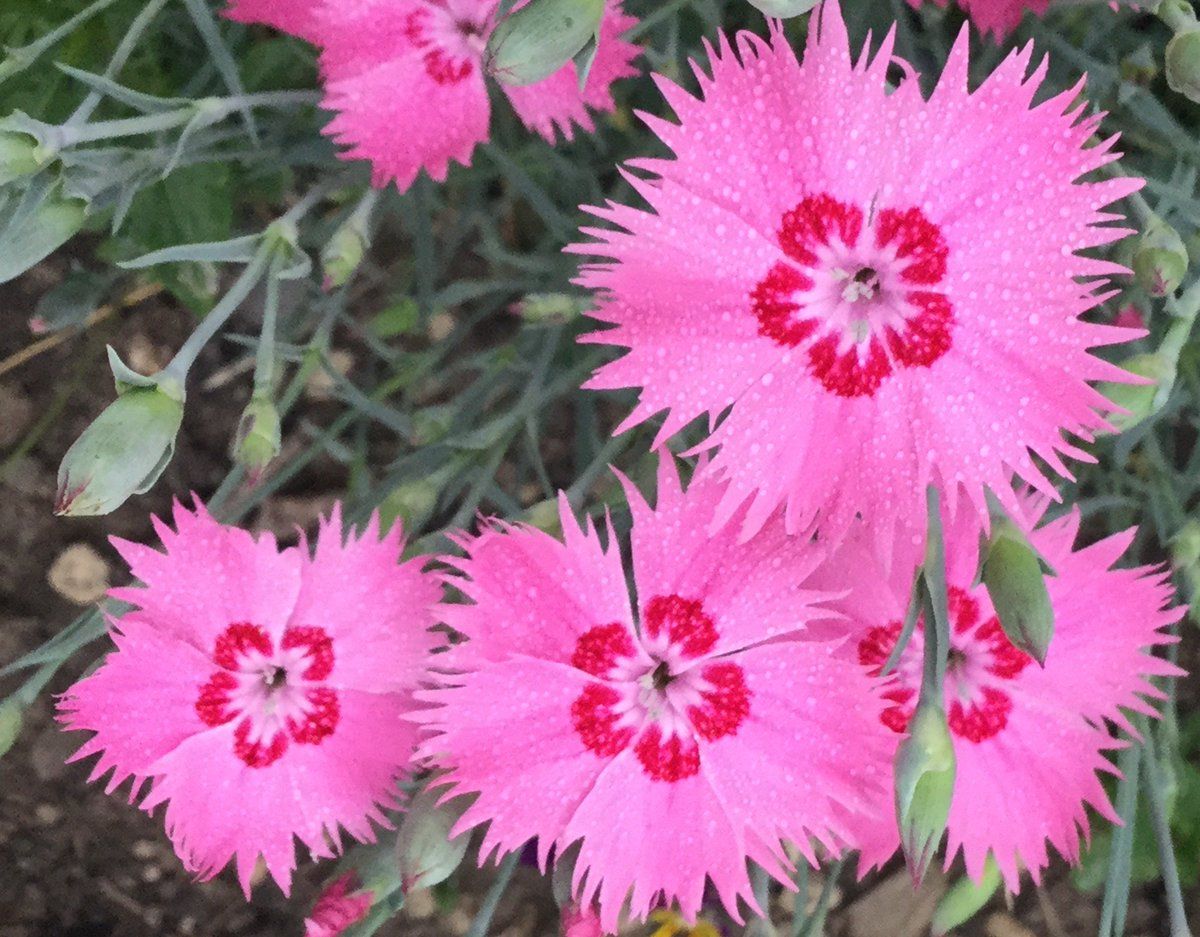 Laviva Com Gewinnspiele dianthus photos and hastag dianthus hastag tags trend topic