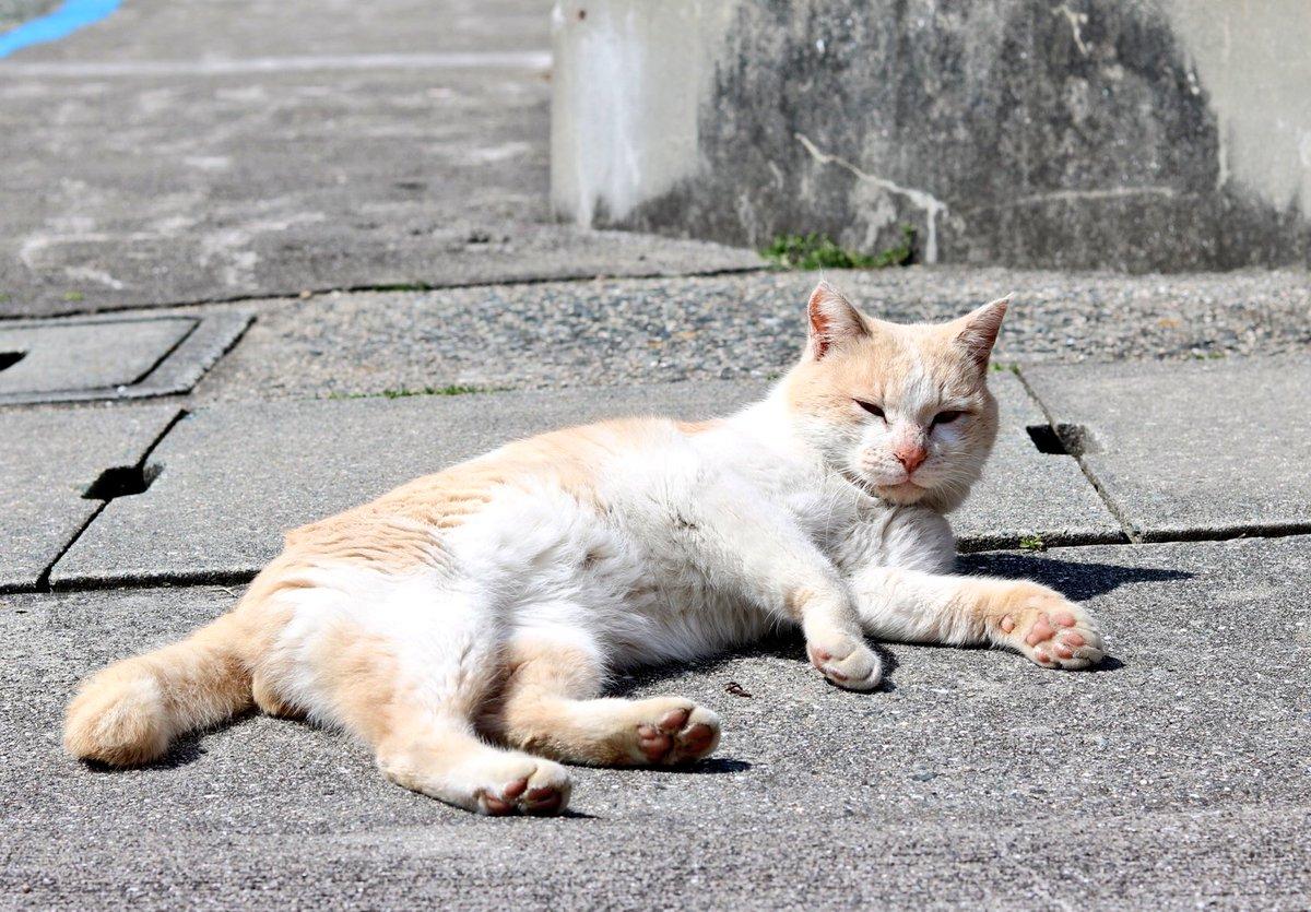 猫 画像 cat image 青島の人気猫、チョコ? 小さい時はかわいい顔立ちだったので 女の子と間違われることもありましたが、 今では立派な男の子です?     1
