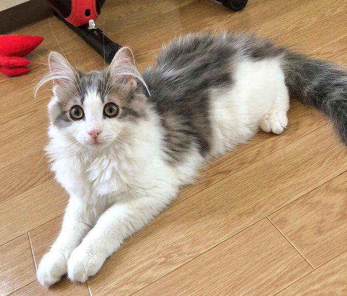 これ見た人は子猫が成長した画像貼れ ノルウェージャン・メイン