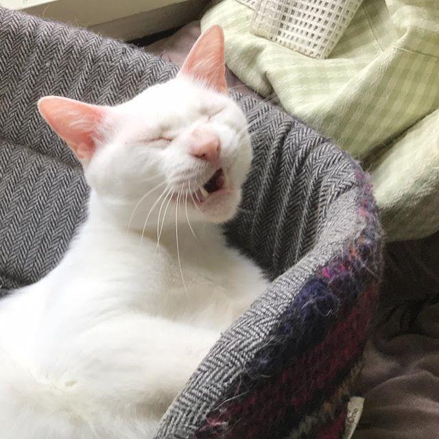 猫 画像 cat image あくび。今日も生きんぞ。